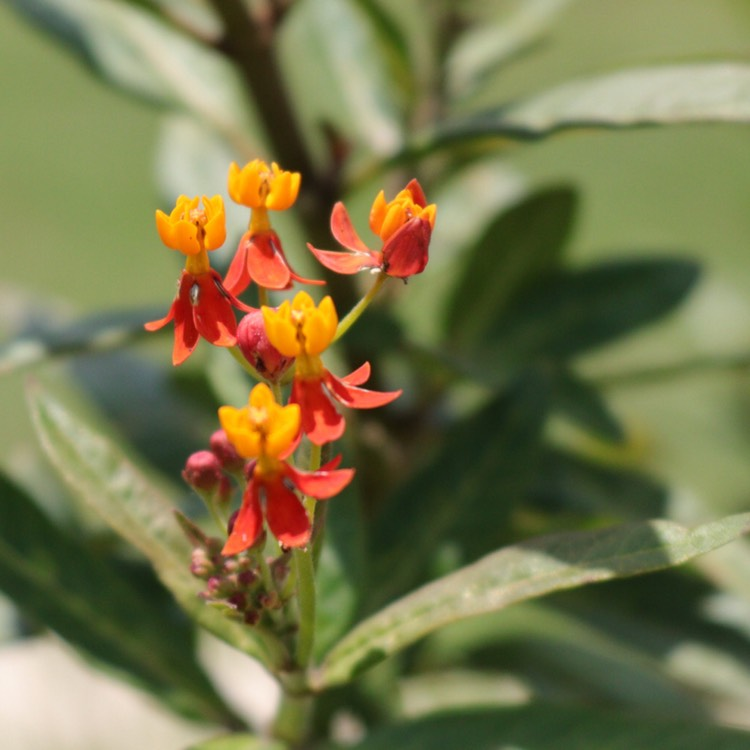 Plant image Asclepias curassavica