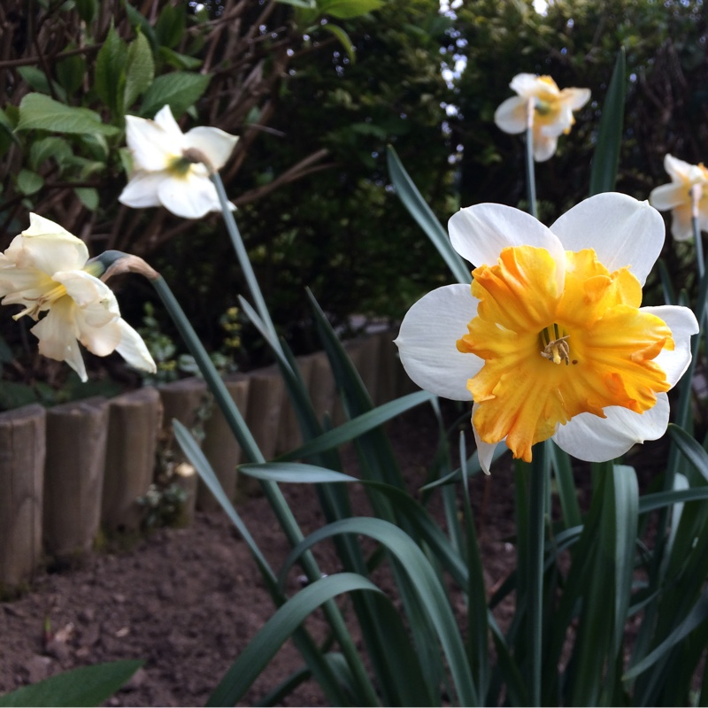 Plant image Narcissus 'Mallee'