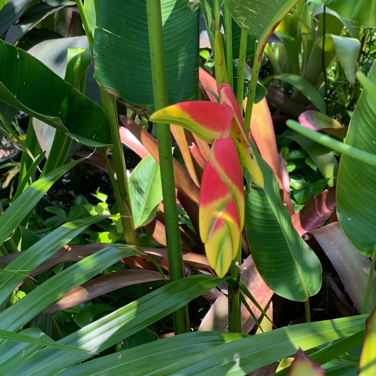 Plant image Heliconia Rostrata 'Inflorescence'