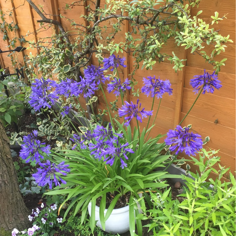 Plant image Agapanthus 'Arctic Star'