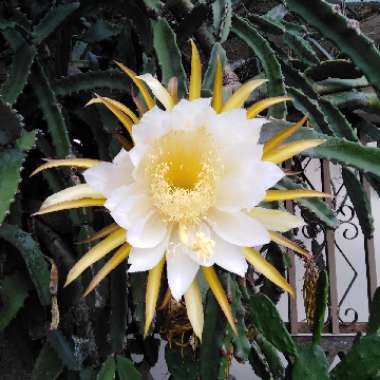 White-fleshed pitahaya