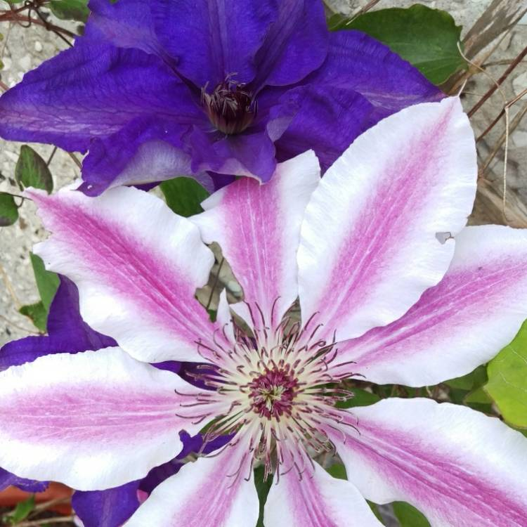 Plant image Clematis 'Nelly Moser'