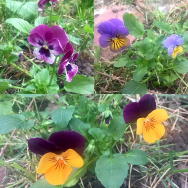 Pansy 'Sorbet Orange Jump Up'