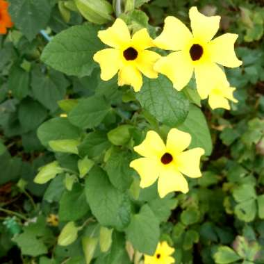 Black-Eyed Susan 'Lemon Star'