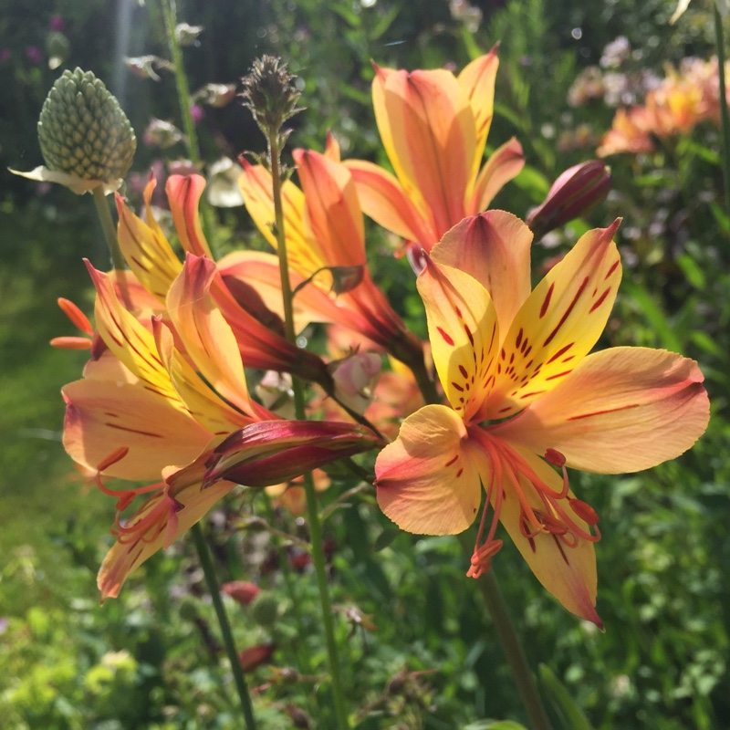 Alstroemeria (Unknown Variety)