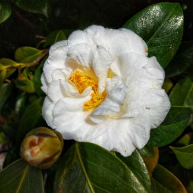Camellia japonica 'Swan Lake'
