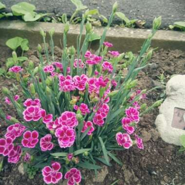 Dianthus 'Pink Kisses'