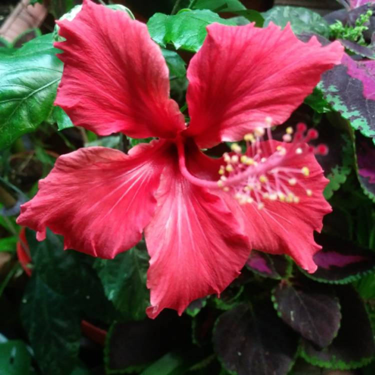 Fiori Hibiscus.Hibiscus Fiori Grande Chinese Hibiscus Uploaded By Stefanie050674