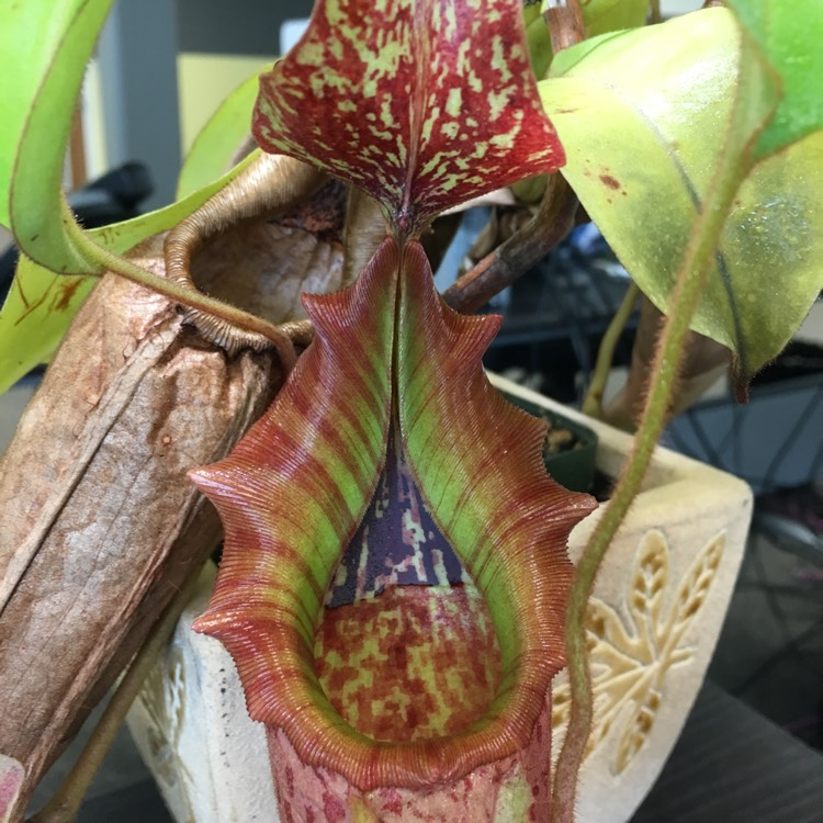 Plant image Nepenthes x tiveyi