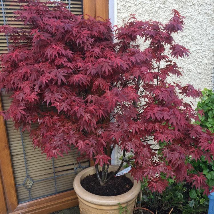 Acer Palmatum Skeeters Broom Japanese Maple Skeeters Broom