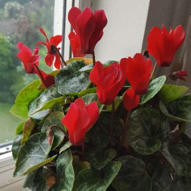 Cyclamen 'Wine Red' (Latinia Series)