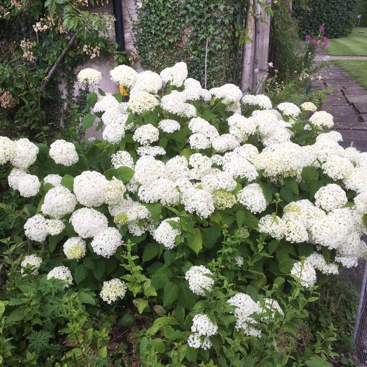 Hydrangea arborescens 39 annabelle 39 hydrangea 39 annabelle for Annabelle hydrangea