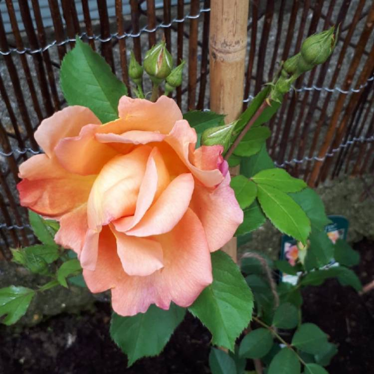Plant image Rosa 'Fighting Temeraire'