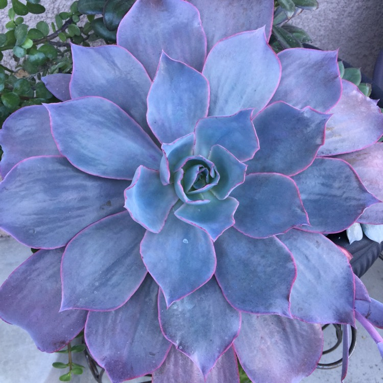 Plant image Echeveria Afterglow