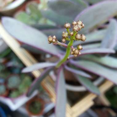 Vertical Leaf Senecio