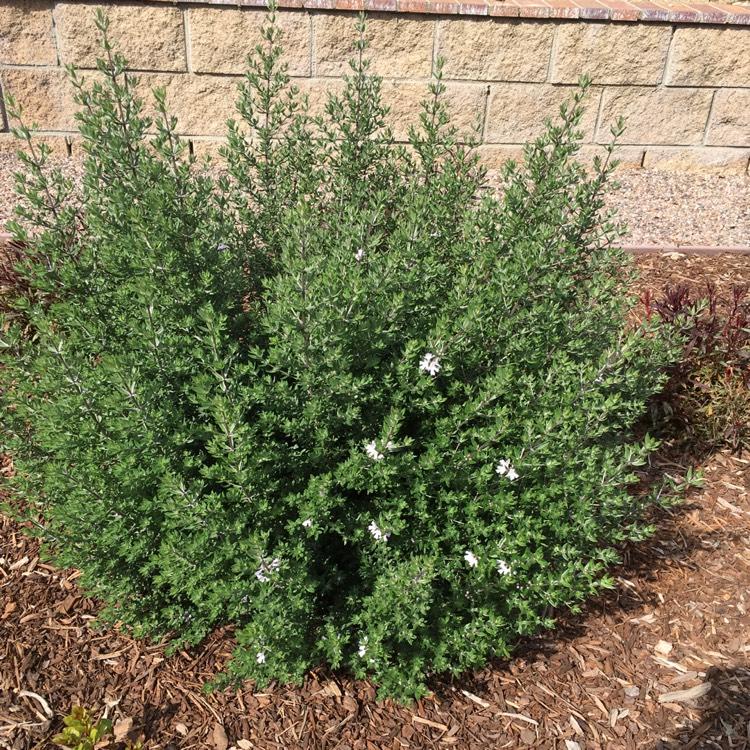 Picture of Live Coastal rosemary aka Westringia fruticosa Shrubs Plant Fit 1 Gallon Pot