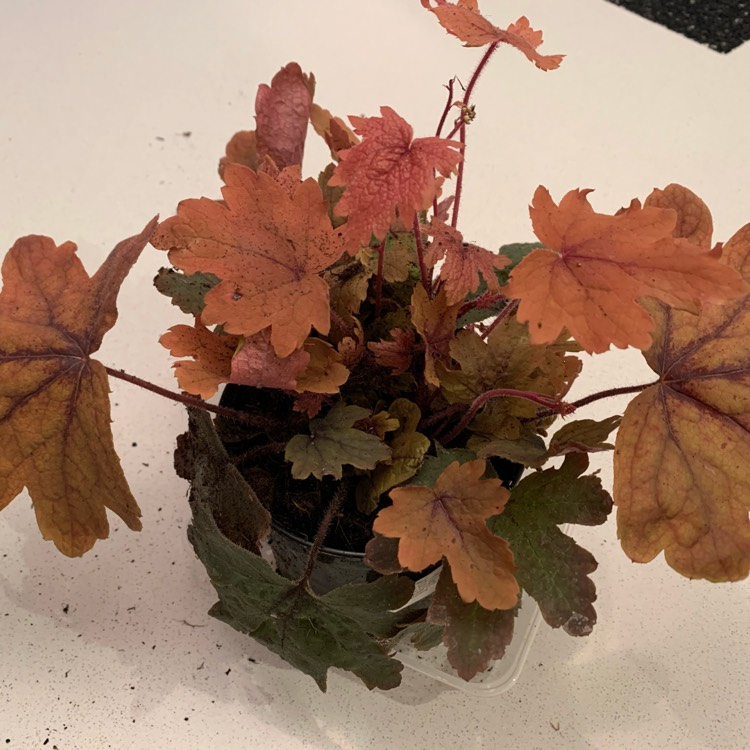 Plant image x Heucherella 'Sweet Tea'