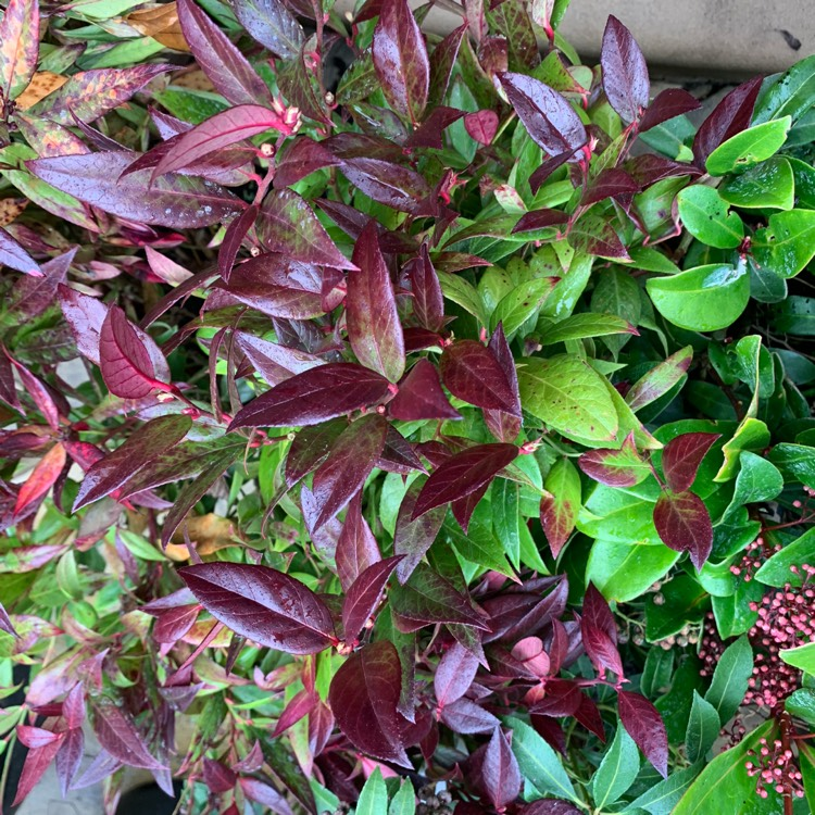 Plant image Leucothoe axillaris 'Curly Red'