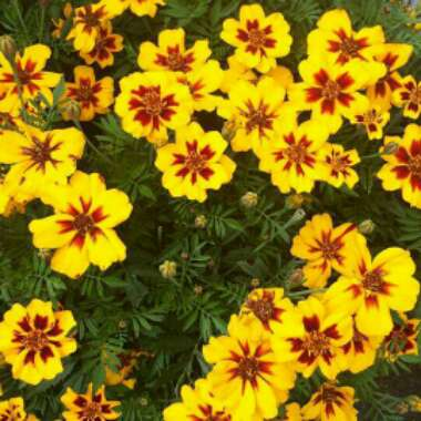 French Marigold'Naughty Marietta'