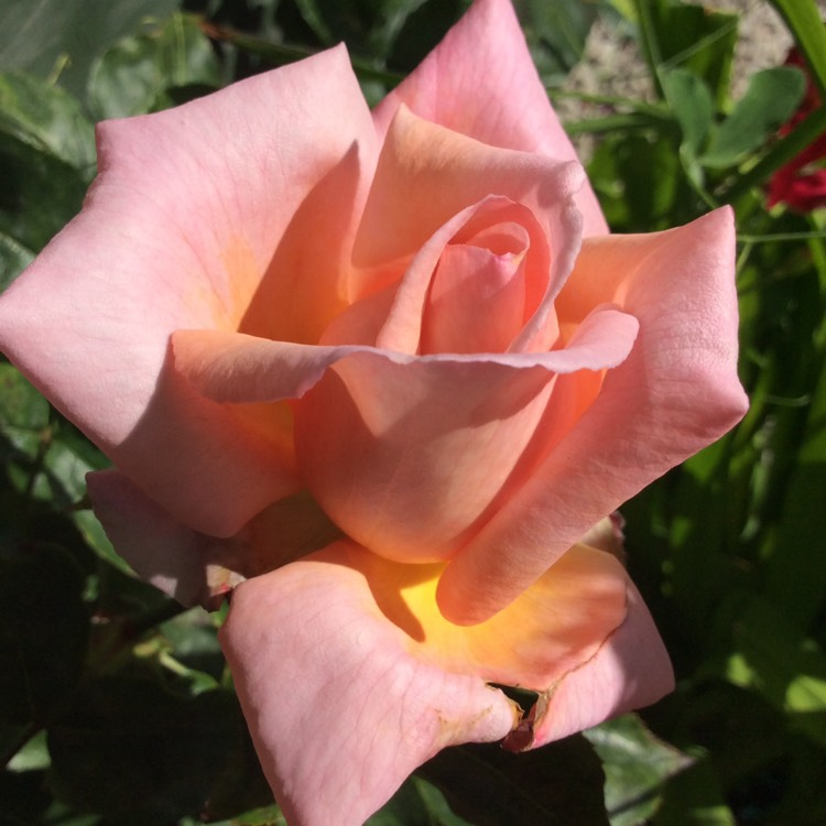 rosa 39 compassion 39 rose 39 compassion 39 uploaded by susanhumphrey333. Black Bedroom Furniture Sets. Home Design Ideas