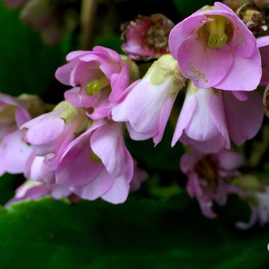 Bergenia 'Morgenrote' syn. Bergenia 'Morning Red'