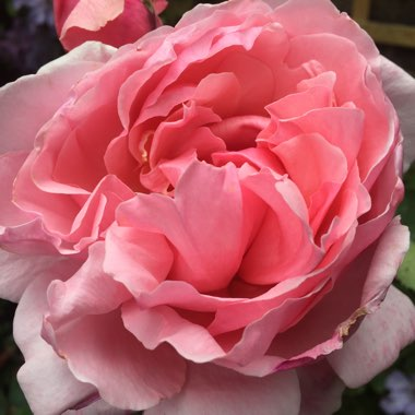 Rosa 'Brother Caedfal' (Ausglobe)