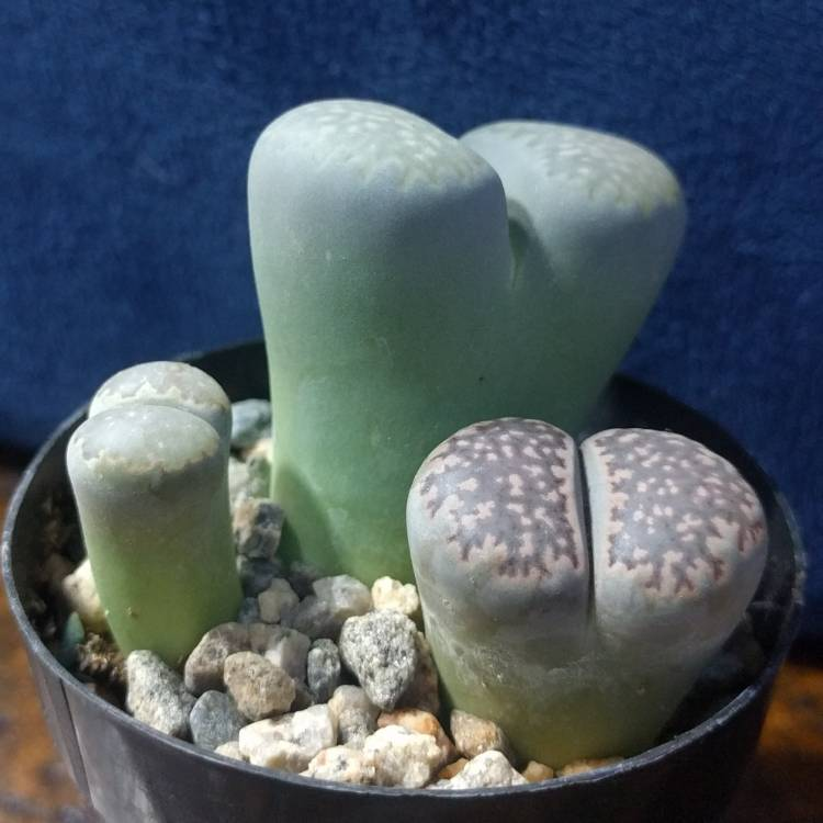 Plant image Lithops Salicola Maticulata