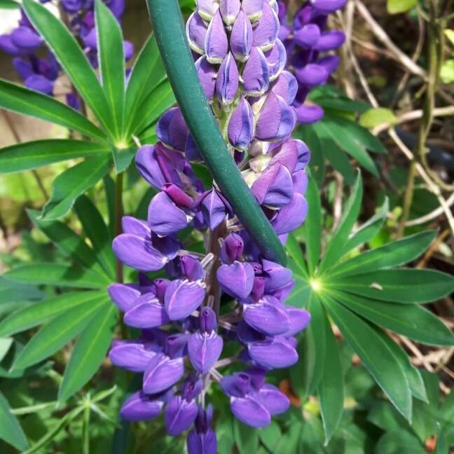 Plant image Lupinus 'Gallery Blue'