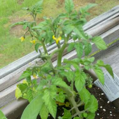Tomato 'Tumbling Tom' (Trailing Cherry Tomato)