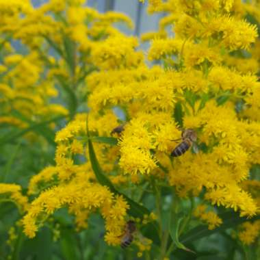 Golden Rod Goldkind