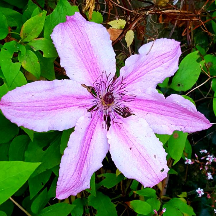 Plant image Clematis Group 2 large flowering varieties