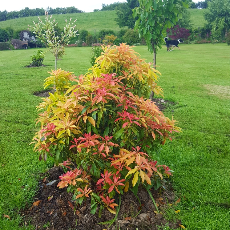 Plant image Pieris 'Forest Flame' syn. Pieris floribunda 'Forest Flame'