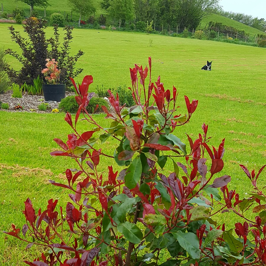 photinia x fraseri 39 robusta compacta 39 compact red robin. Black Bedroom Furniture Sets. Home Design Ideas