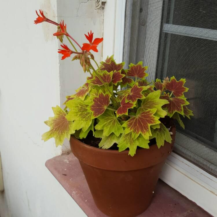 Picture of Live Vancouver Centennial Geranium aka Pelargonium 'Vancouver Centennial' Plant Fit 1QRT Pot