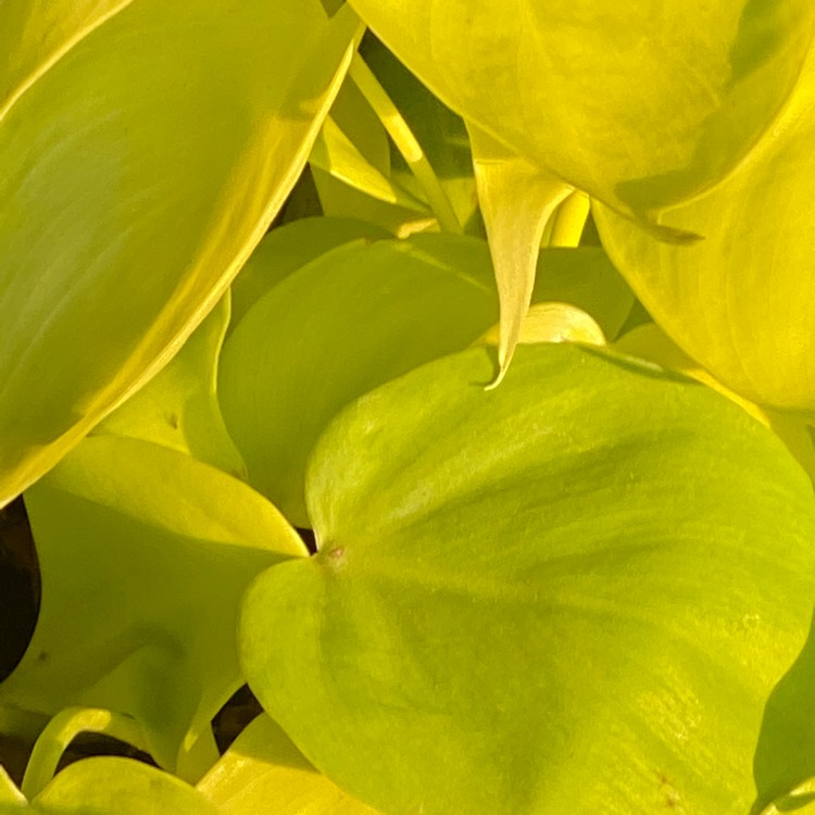 Plant image Philodendron scandens