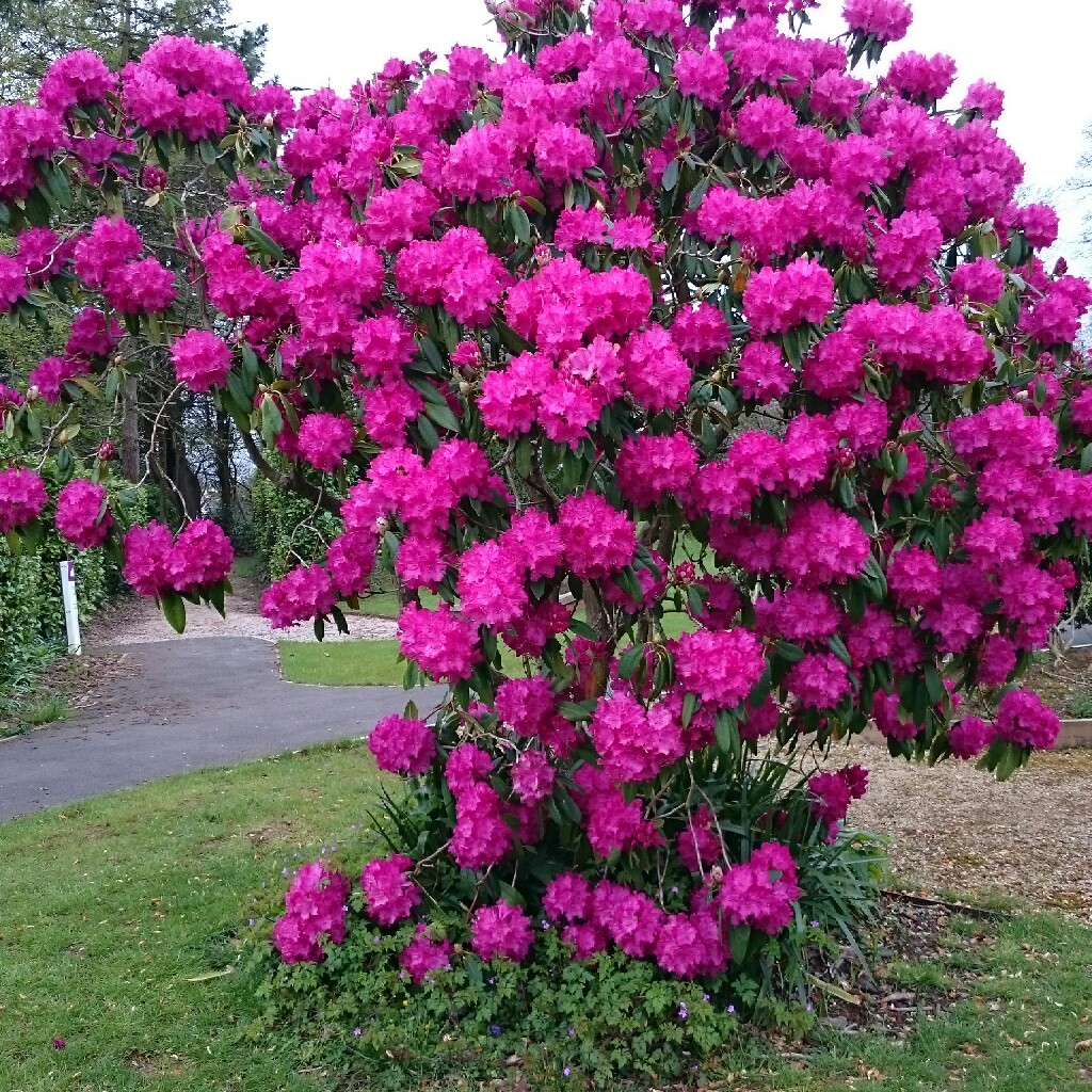 Plant Rhododendron (unknown variety)