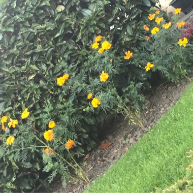 Tagetes patula 'French Bee'