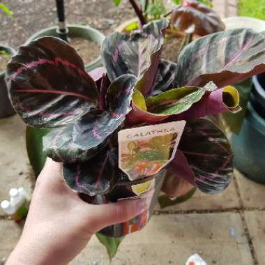 Rose Painted Calathea 'Dottie'