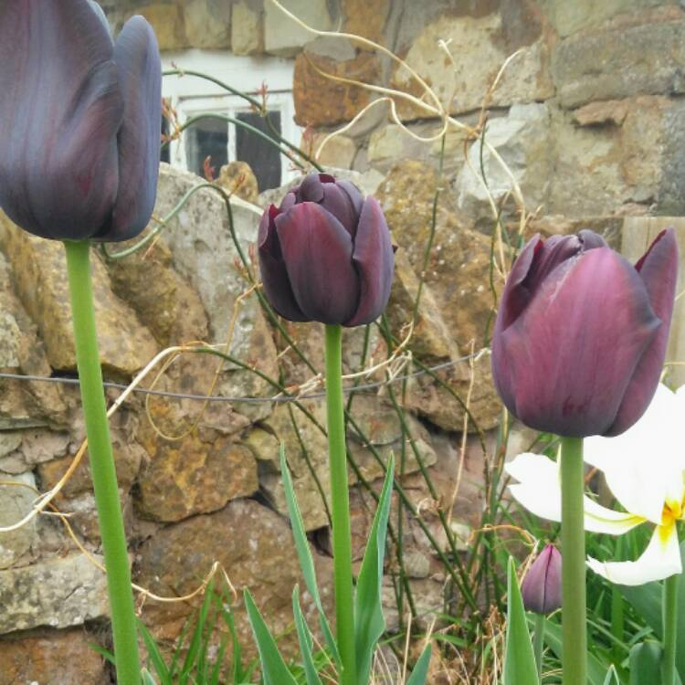 Plant image Tulipa 'Queen of Night'