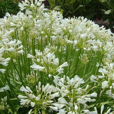 Agapanthus 'Snowstorm' (Storm Series) syn. Agapanthus 'Snow Storm'