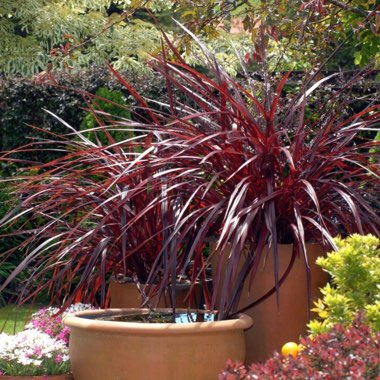 Cordyline 'Red Fountain'