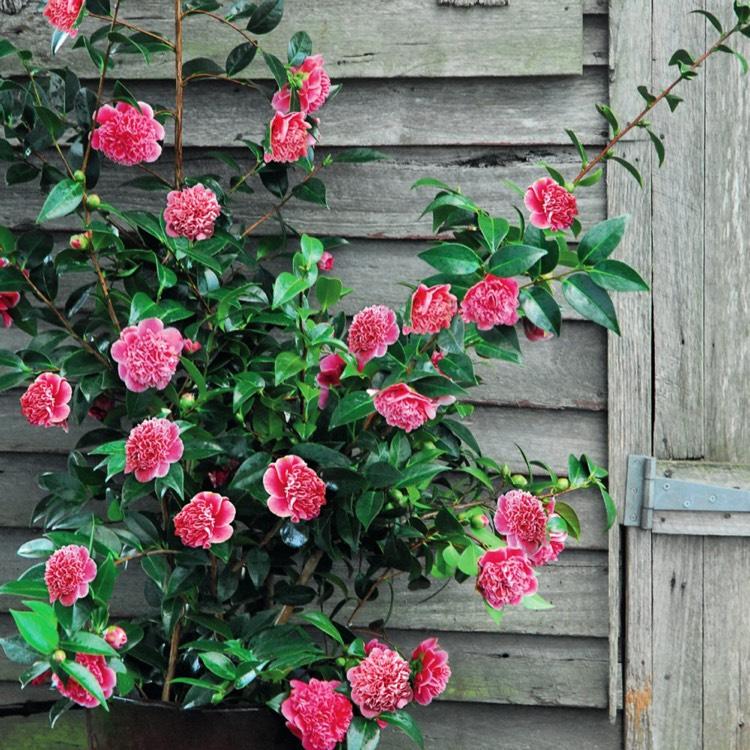 Camellia japonica 39 volunteer 39 camellia 39 volunteer - Cuidados de la camelia japonica ...
