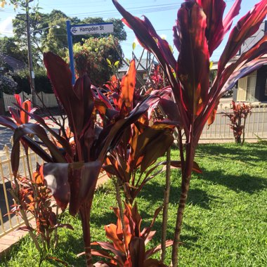 Cordyline Fruticosa 'Red Sister'