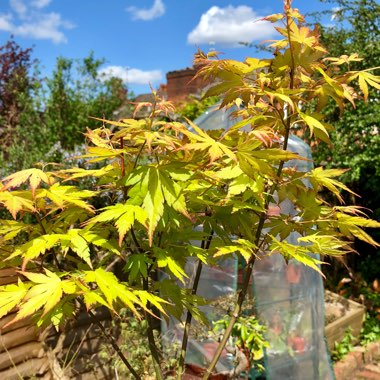 Japanese Maple 'Orange Dream'