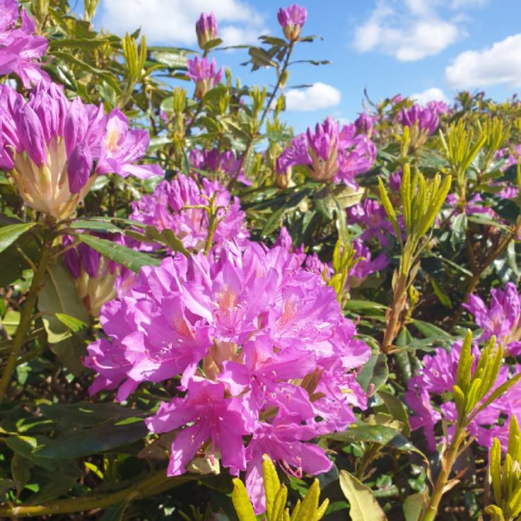 Plant image Rhododendron  (Rhododendron Varieties)