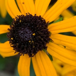 Coneflower 'Little Goldstar'