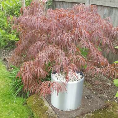 Japanese Maple (Unknown Variety)