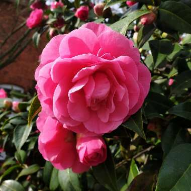 Camellia 'Pink'