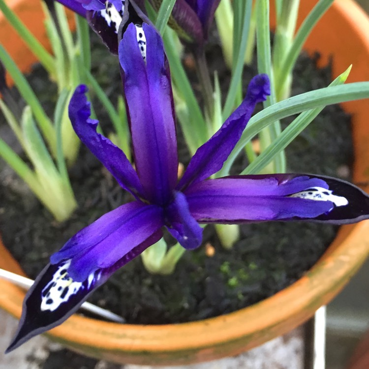 Plant image Iris 'Blue Note' syn. Iris reticulata 'Blue Note'