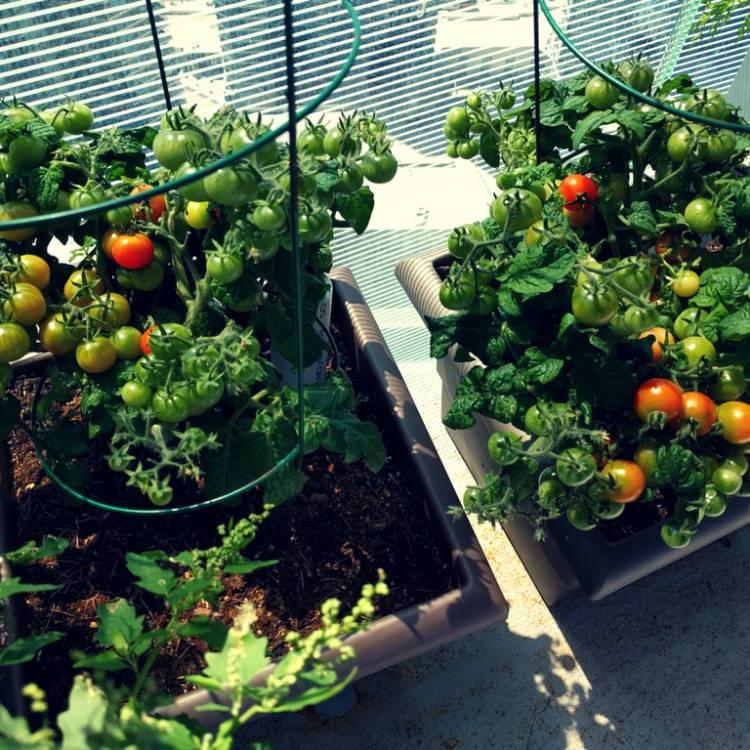 Solanum Lycopersi Var Cerasiforme